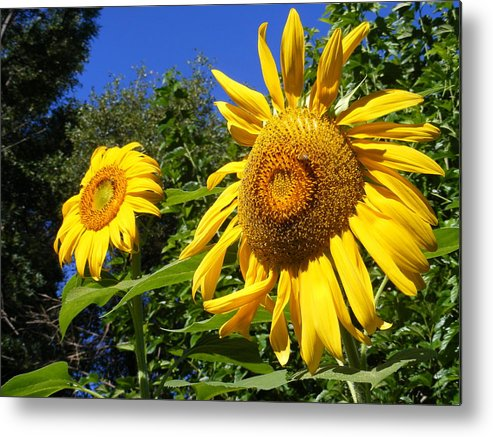 Sunflowers Metal Print featuring the photograph Sunflower Garden by Gail Salitui