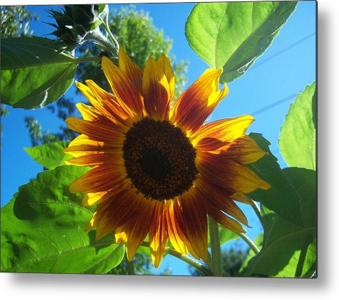 Sun Metal Print featuring the photograph Sunflower by Ken Day