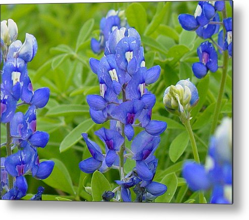 Flower Metal Print featuring the photograph Texas Bluebonnets by Terry Burgess