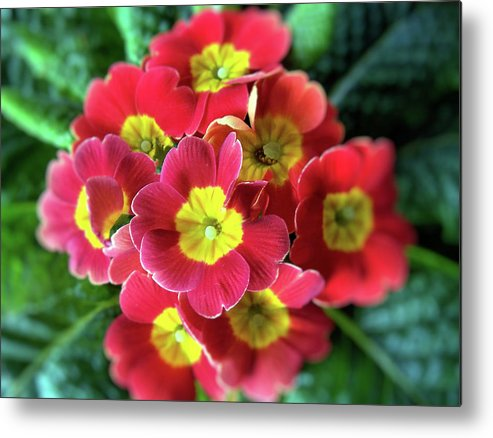Flower Metal Print featuring the photograph The Big Bang by Rose Guay