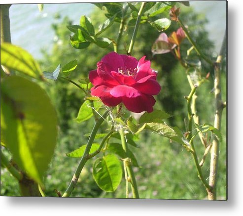 Rose Metal Print featuring the photograph The Rose by KC Dane