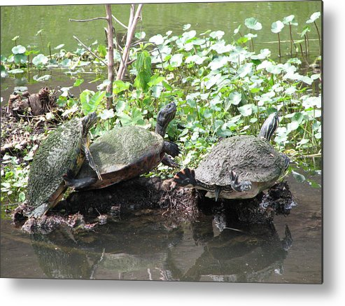 Turtle Metal Print featuring the photograph Three Amigos by Stacey May