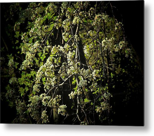 Metal Print featuring the photograph Tree Flowers by Michael L Kimble
