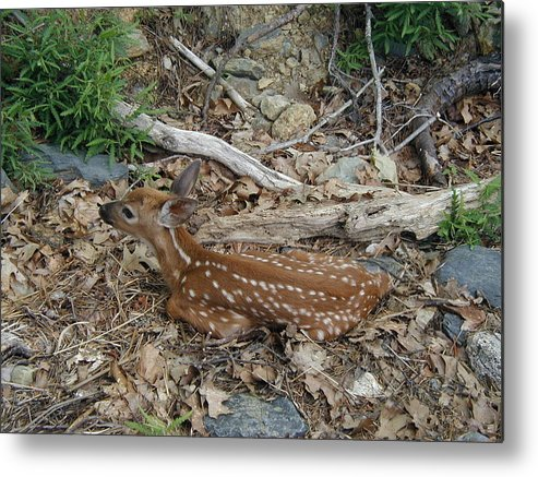 Deer Metal Print featuring the photograph Waiting For Mommy by Dmytro Toptygin