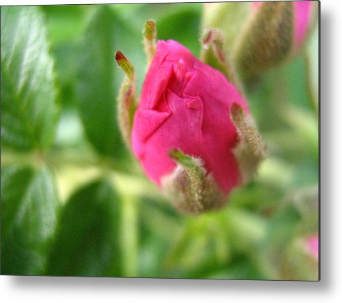 Rose Metal Print featuring the photograph Wild Rose Bud by Melissa Parks