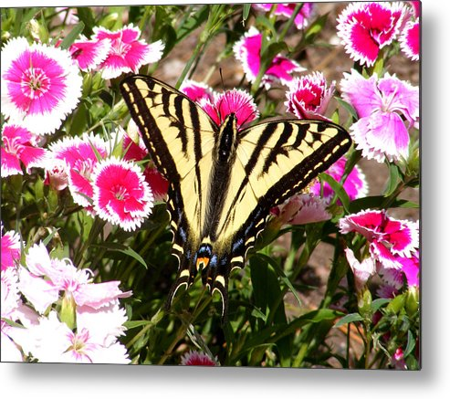 Butterfly Metal Print featuring the photograph Beautyfly In Pink by Gail Salitui