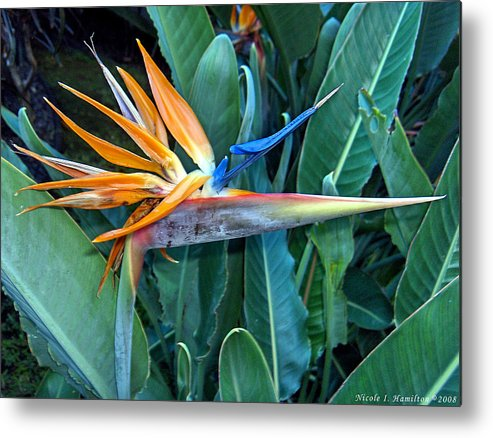 Flowers Metal Print featuring the photograph Bird Of Paradise by Nicole I Hamilton