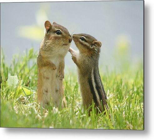 Horizontal Metal Print featuring the photograph Chipmunks In Grasses by Corinne Lamontagne