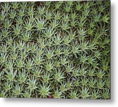 Cactus Metal Print featuring the photograph Feild Of Stars by Dean Triolo