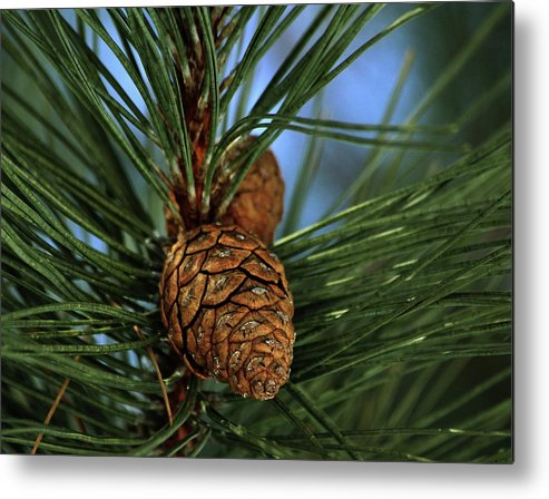 Pine Cone Metal Print featuring the photograph Pine Cone 2 by Marjorie Imbeau