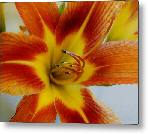 Photo Metal Print featuring the photograph Tigerlily Paw by Marsha Heiken