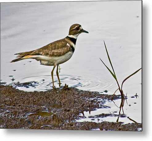 Nisqually National Wildlife Refuge Kildeer Plover Metal Print featuring the photograph Beachcombing by Kate Lynch