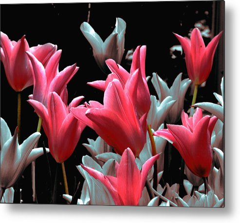 Flowers Metal Print featuring the photograph Pink N Silver Tulips by Irma BACKELANT GALLERIES
