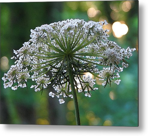 Queen Anne's Lace Metal Print featuring the photograph Queen Anne In Her Glory by Ginger Howland