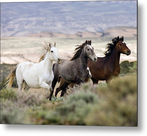 Wild Horses Metal Print featuring the photograph Three Mares Running by Carol Walker