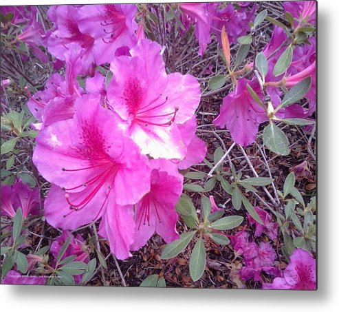 Flowers Metal Print featuring the photograph Tropical Pink Flowers by Jamey Balester