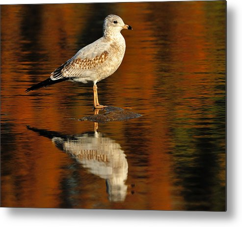 Ring-billed Gull Metal Print featuring the photograph Youthful Reflections by Tony Beck