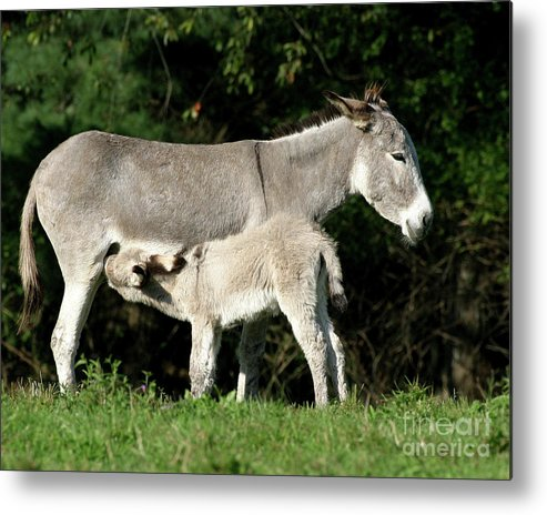 Donkey Metal Print featuring the photograph I'm Thirsty by Deborah Smith