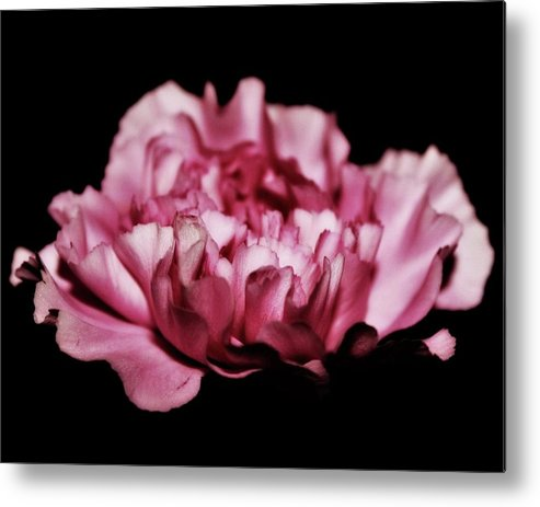 Carnations Metal Print featuring the photograph Floating by Cathie Tyler