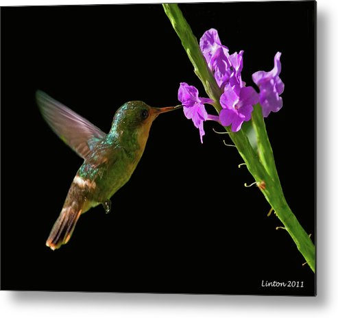 Tufted Coquette Metal Print featuring the photograph Tufted Coquette by Larry Linton