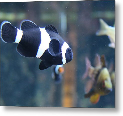 Fish Metal Print featuring the photograph Black Clown Fish by Aimee Galicia Torres
