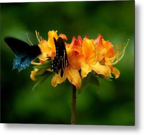 Butterflies Metal Print featuring the photograph Butterflies On Yellow Azalea by Bob Guthridge