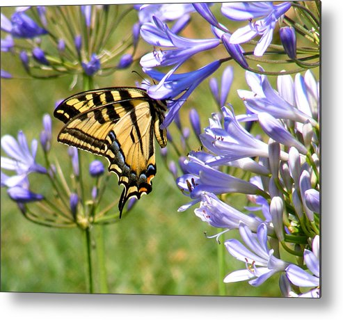Butterfly Metal Print featuring the photograph Butterfly In Blue by Gail Salitui
