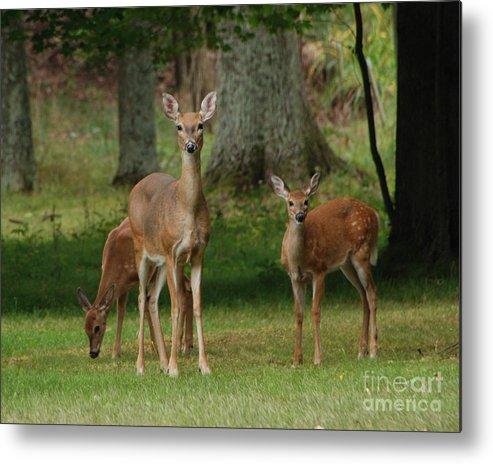 Deer Metal Print featuring the photograph Family Walk by Grace Grogan
