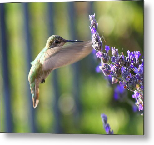 Hummingbird Metal Print featuring the photograph Hummer by Kerry Reed
