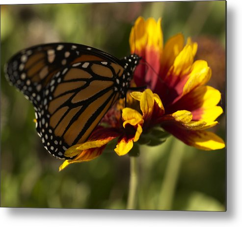 Butterfly Metal Print featuring the photograph Monarch Butterfly by Jessica Wakefield
