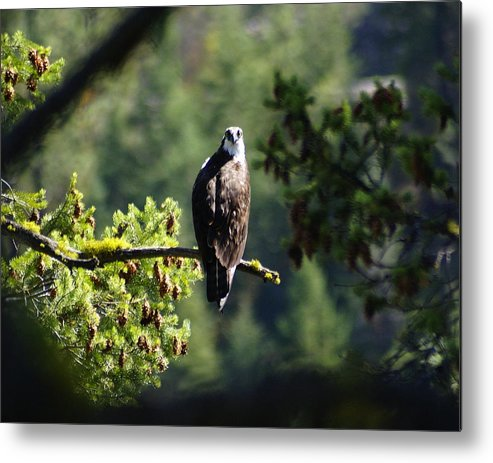 Spokane Metal Print featuring the photograph Osprey On Branch by Ben Upham III