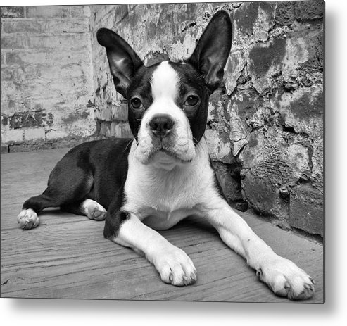 Boston Terrier Metal Print featuring the photograph Urban Hound by Crystal Rolfe