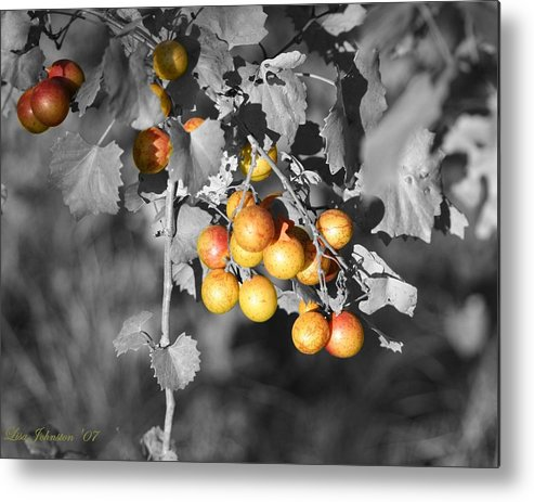 Muscadine Metal Print featuring the photograph Before The Wine by Lisa Johnston