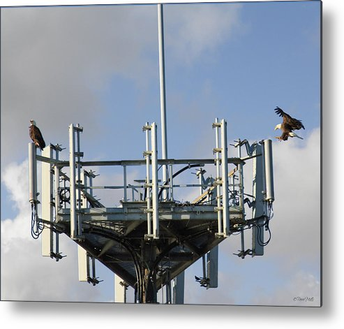 Eagles Metal Print featuring the photograph Eagles Coming Home by Terri Mills