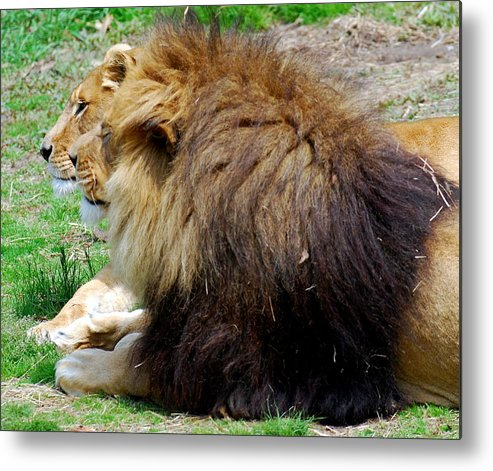 African Lion Metal Print featuring the photograph This Is Our Good Side by Carol Christopher