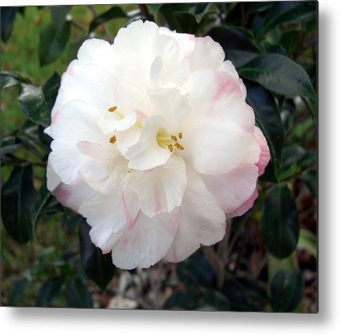 Camellia Metal Print featuring the photograph Camellia by Frederic Kohli