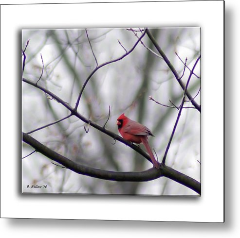 2d Metal Print featuring the photograph Cardinal Perched On A Branch by Brian Wallace