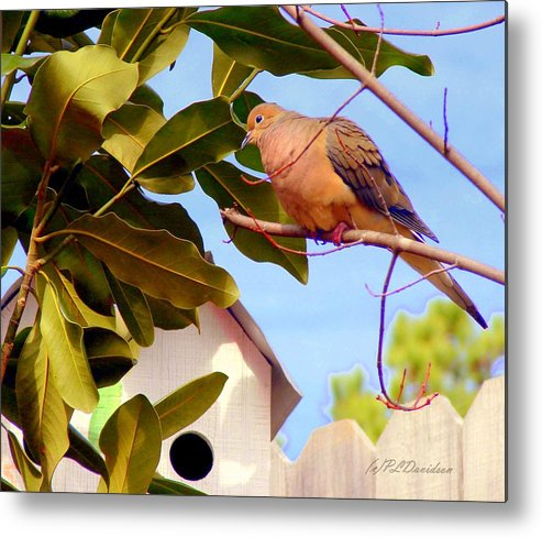Birds Metal Print featuring the photograph Darling Dove by Patricia L Davidson