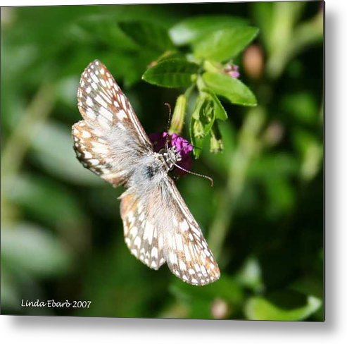 Insect Metal Print featuring the photograph Feast Of Mexican Heather by Linda Ebarb