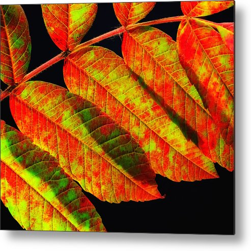 Sumac Leaves Metal Print featuring the photograph Sumac Leaves by Peg Runyan