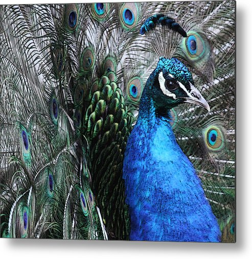 Peacock Metal Print featuring the photograph Peacock by Lauren Rademacher