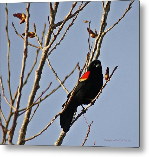 Red Metal Print featuring the photograph Red Winged Black Bird by KatagramStudios Photography