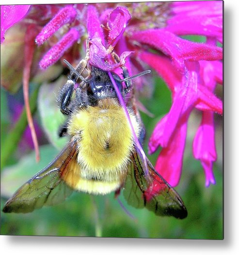 Bees Metal Print featuring the photograph Bee On Bee Balm by Randy Rosenberger
