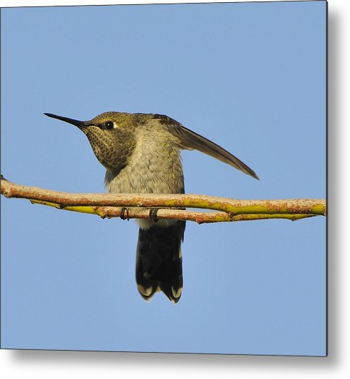 Bird Metal Print featuring the photograph Hummingbird Looking Right by Clarence Alford