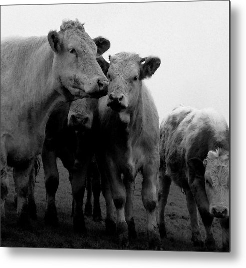 Cheshire Cattle Metal Print featuring the photograph Cheshire Cattle by John Bradburn