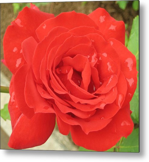Rose Metal Print featuring the photograph Rose With Dew by Angela Siener