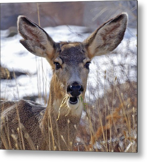 Doe Metal Print featuring the photograph Doe by Heather Coen