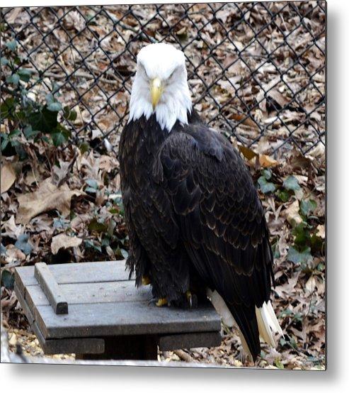 Animal Metal Print featuring the photograph A Bald Eagle by Eva Thomas