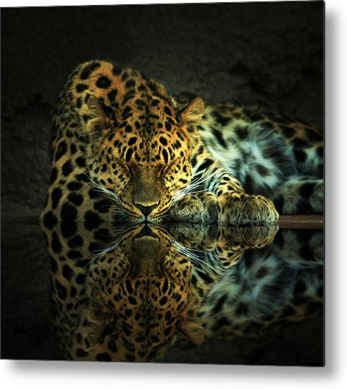 Leopard Metal Print featuring the photograph Endangered by Gene Praag