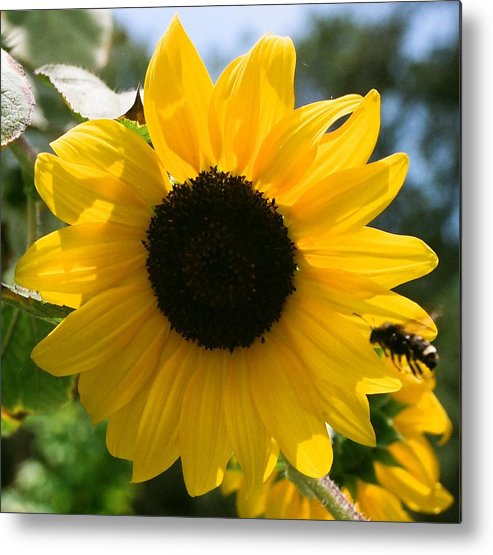 Flower Metal Print featuring the photograph Sunflower With Bee by Dean Triolo
